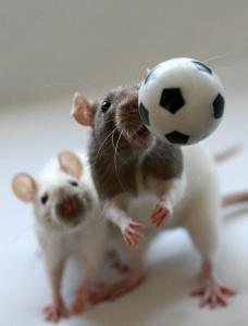 rats and soccer
