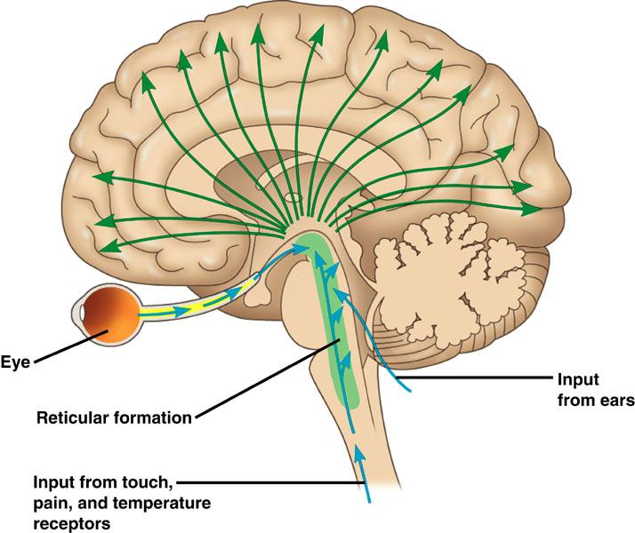 reticular formation2