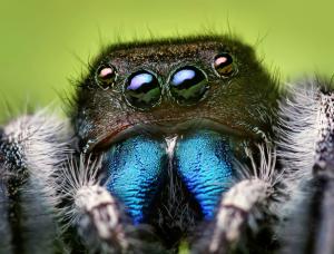 Jumping spider (Phidippus audax)