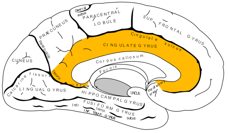 cingulate-gyrus1316643426223
