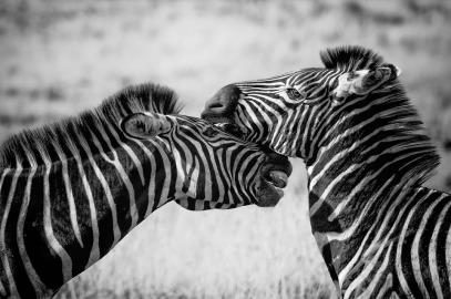 zebra-1169259_960_720