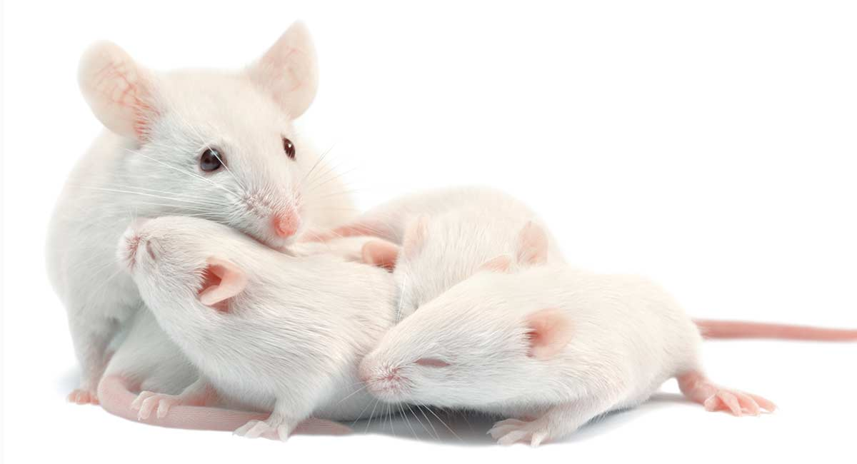 how-many-babies-do-mice-have-header